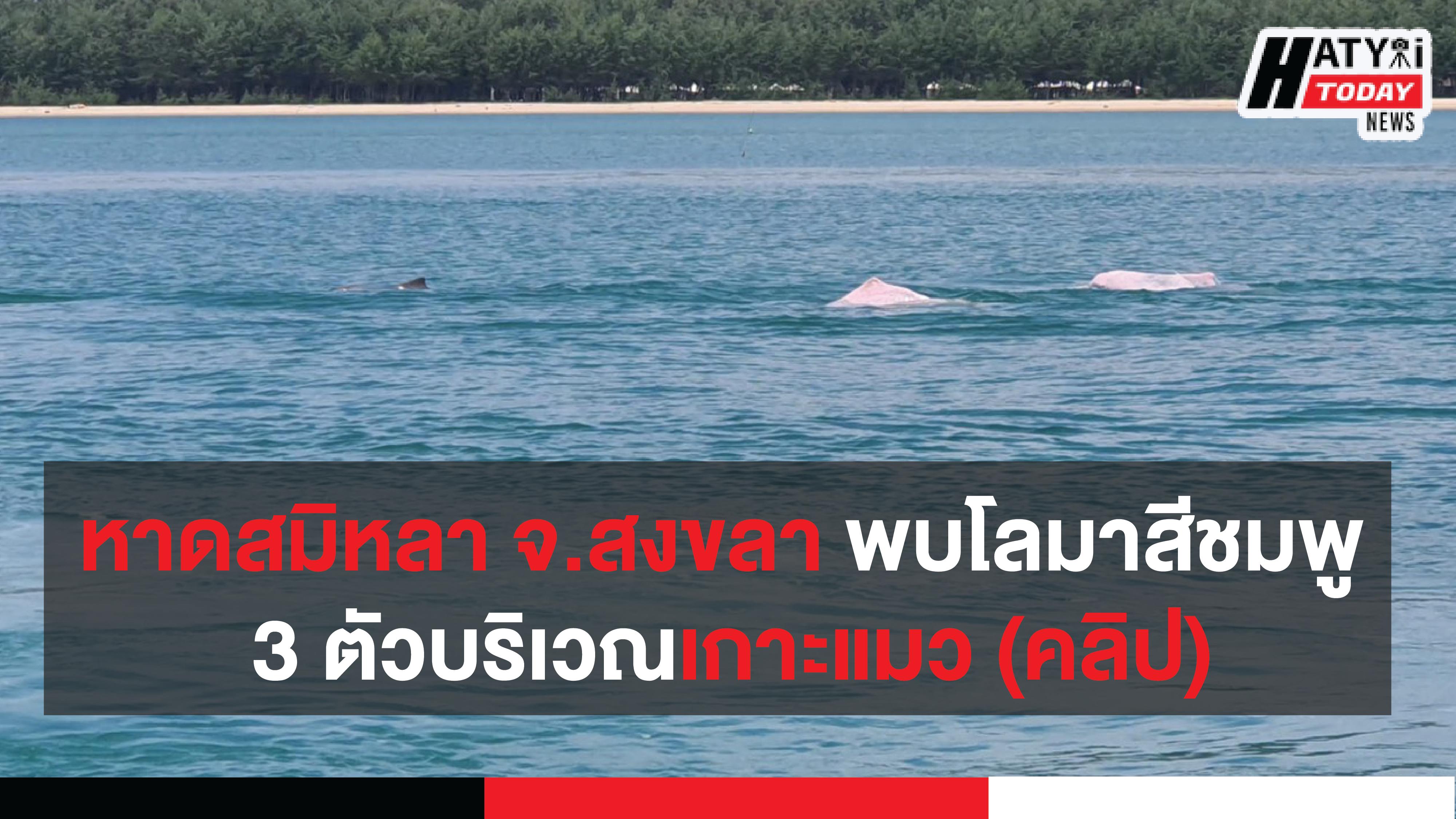 หาดสมิหลา จ.สงขลา พบโลมาสีชมพูออกมาว่ายน้ำเล่นจำนวน 3 ตัวบริเวณเกาะแมว (คลิป)