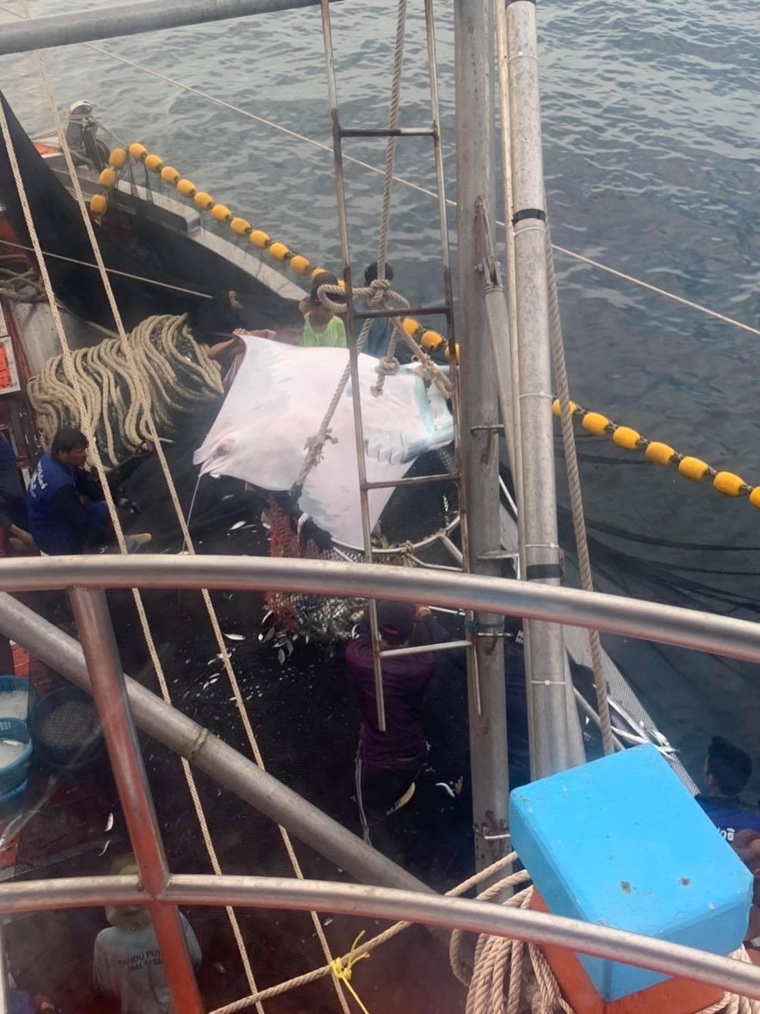 เรือป.โชคปาริฉัตร์1ปล่อยปลากระเบนราหู 12 ตัวหนักราวครึ่งตัน ทะเลจ.กระบี่