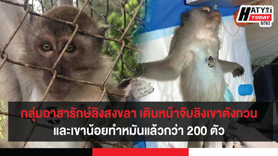 กลุ่มอาสารักษ์ลิงสงขลา เดินหน้าจับลิงเขาตังกวน-เขาน้อยทำหมันแล้วกว่า 200 ตัว