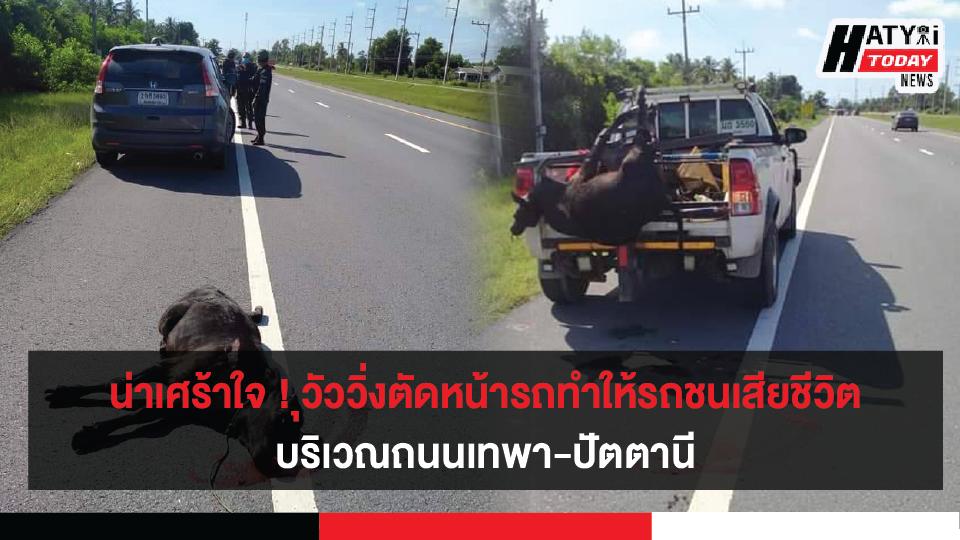 น่าเศร้าใจ ! เกิดเหตุวัววิ่งตัดหน้ารถทำให้รถชนเสียชีวิต บริเวณถนนเทพา-ปัตตานี